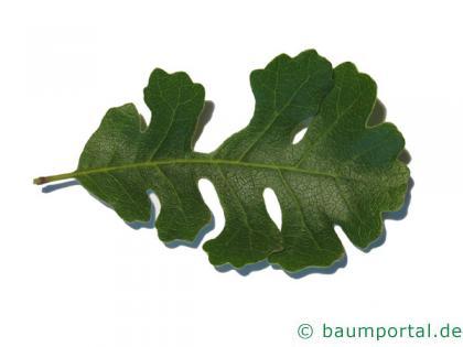 Kalifornische Eiche (Quercus lobata) Blatt