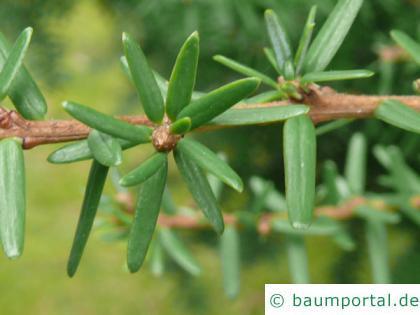 kalifornische Hemlock-Tanne (Tsuga canadensis) Nadeln