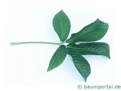 kalifornische Kastanie (Aesculus californica) Blatt