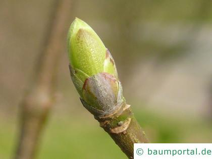 kalifornische Kastanie (Aesculus californica) Endknospen
