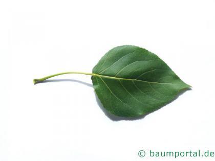 kanadische Pappel (Populus canadensis) Blatt