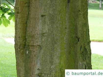 Kastanie (Aesculus hippocastanum) Stamm