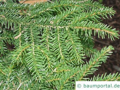 Kaukasus Fichte (Picea orientalis) Zweige