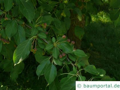Kirsch-Apfel (Malus baccata) Blätter