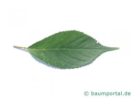 Kirsche (Prunus avium) Blatt
