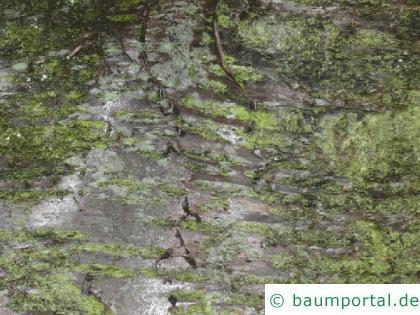 Kirsche (Prunus avium) Stamm / Borke / Rinde