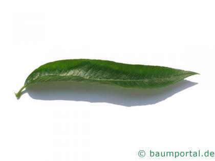 Knack-Weide (Salix fragilis) Blatt