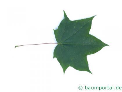 kolchischer Ahorn (Acer cappadocicum) Blatt