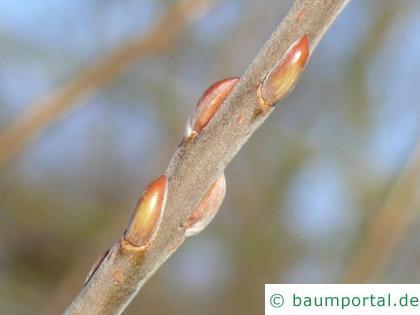 Korb-Weide (Salix viminalis) Knospen