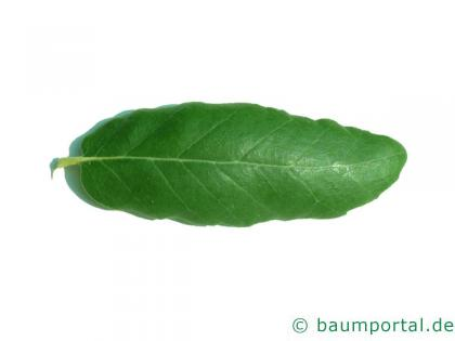Kork-Eiche (Quercus suber) Blatt