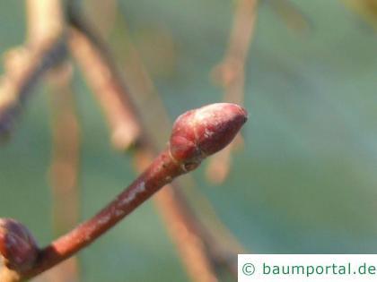 Krim-Linde (Tilia x euchlora) Endknospe