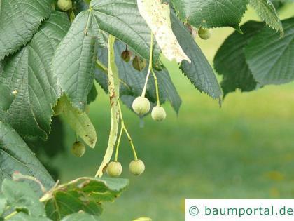 Krim-Linde (Tilia x euchlora) Frucht