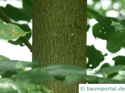 Krim-Linde (Tilia x euchlora) Stamm / Borke / Rinde