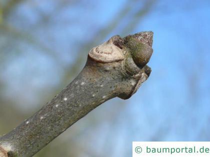 Kürbis-Esche (Fraxinus profunda) Endknospe