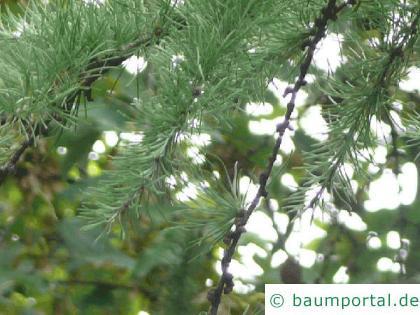 Lärche (Larix decidua) Äste im Sommer
