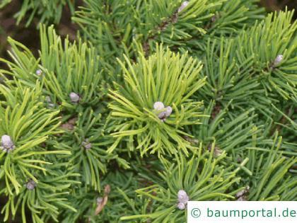 Latschenkiefer (Pinus mugo) Zweige