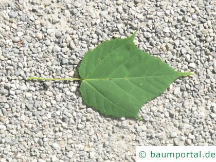 lockerblütiger-ahorn (Acer pectinatum) Blatt