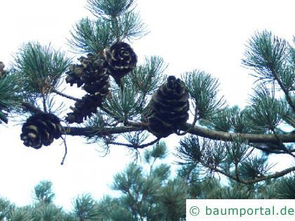 Mädchen-Kiefer (Pinus parviflora) Zapfen
