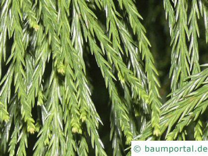 Mammutbaum (Sequoiadendron giganteum)  Nadeln
