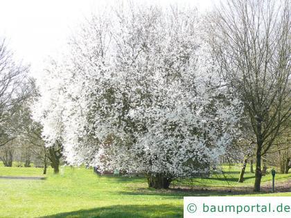 Mirabelle (Prunus domestica subsp. syriaca) Baum in der Blüte