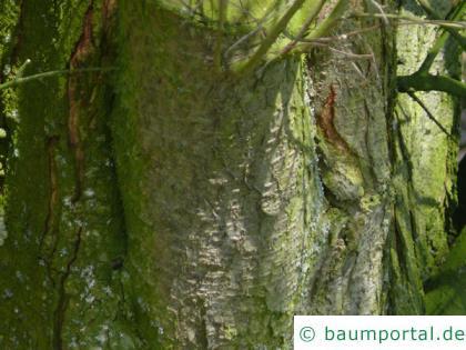 Mirabelle (Prunus domestica subsp. syriaca) Stamm / Rinde / Borke
