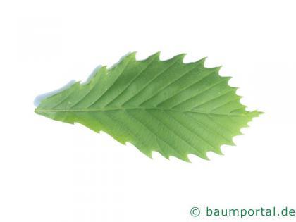 mongolische Eiche (Quercus mongolica) Blatt