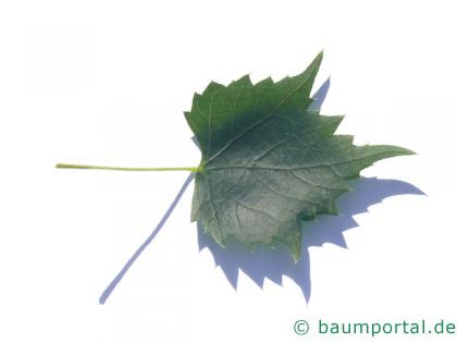mongolische Linde (Tilia mongolica) Blatt