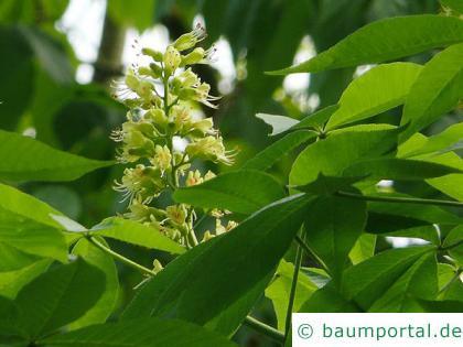 Ohio Kastanie (Aesculus glabra) Blüte-2