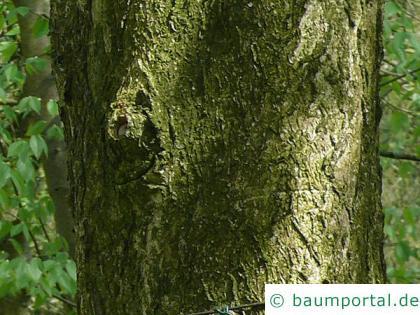 Ohio Kastanie (Aesculus glabra) Stamm / Borke / Rinde