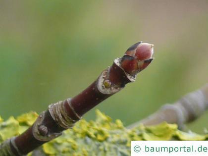 Oregon-Ahorn (Acer macrophyllum) Endknospe