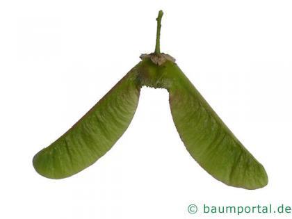Oregon-Ahorn (Acer macrophyllum) reichlichen Früchte