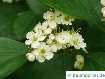 Oregon Weißdorn (Crataegus douglasii) Blüten