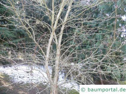 Oregon Weißdorn (Crataegus douglasii) Krone im Winter