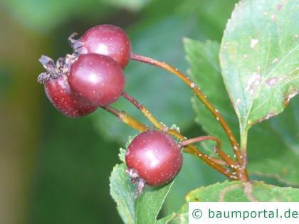 Oregon Weißdorn (Crataegus douglasii) Frucht