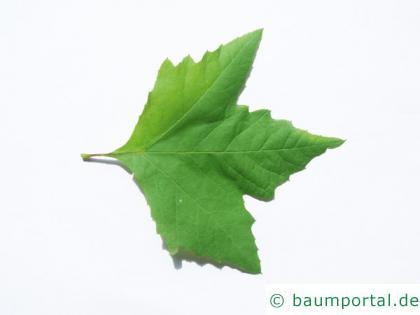 orientalische Platane (Platanus orientalis) Blatt