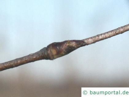 Papier-Birke (Betula papyrifera) Knospe