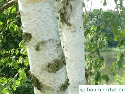 Papier-Birke (Betula papyrifera) Stamm / Rinde