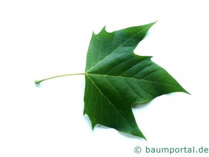Platane (Platanus acerifolia) Blatt