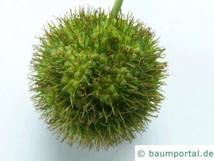 Platane (Platanus acerifolia) Frucht-zoom