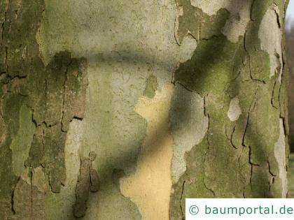 Platane (Platanus acerifolia) Stamm / Rind / Borke