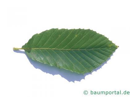 Pontische Eiche (Quercus pontica) Blatt