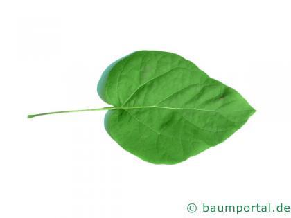prächtiger Trompetenbaum (Catalpa speciosa) Blatt