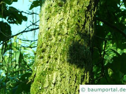 prächtiger Trompetenbaum (Catalpa speciosa) Stamm / Rinde / Borke