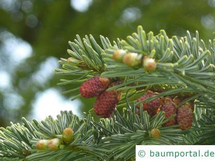 Purpur-Tanne (Abies amabilis) männliche und weibliche Fruchtstände