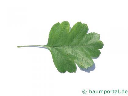 Rot-Dorn (Crataegus laevigata 'Paul's Scarlet') Blatt
