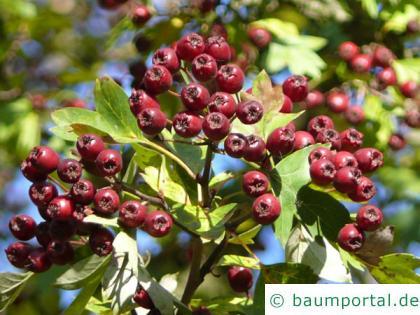 Rot-Dorn (Crataegus laevigata 'Paul's Scarlet') Früchte