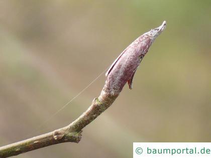 Rot-Erle (Alnus rubra) Endknospe
