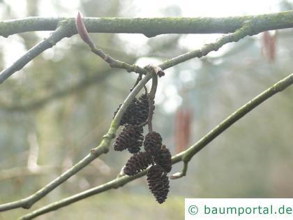 Rot-Erle (Alnus rubra) Zapfen