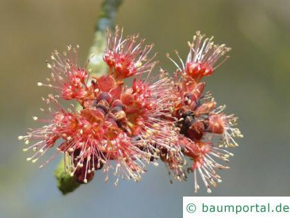 Rot-Ahorn (Acer rubrum) rote Blüten