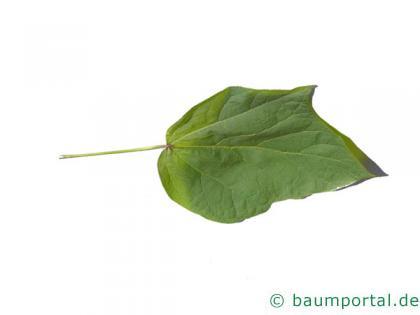 rotblättriger Catalpa (Catalpa erubescens 'Purpurea') Blatt